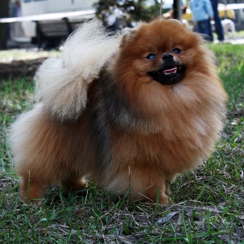 Pomeranian Kennel